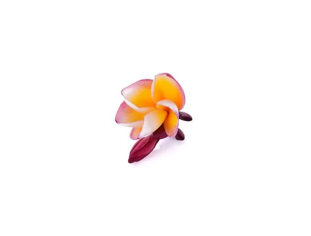 Frangipani, pumeria, frangipanni, 흰색 배경에 고립