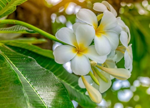 Цветок frangipani с зелеными листьями. белые цветы