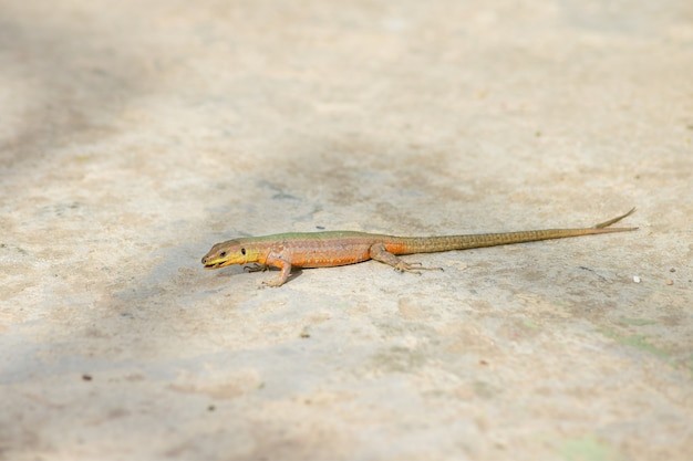 Freak tailed maltese wall lizard