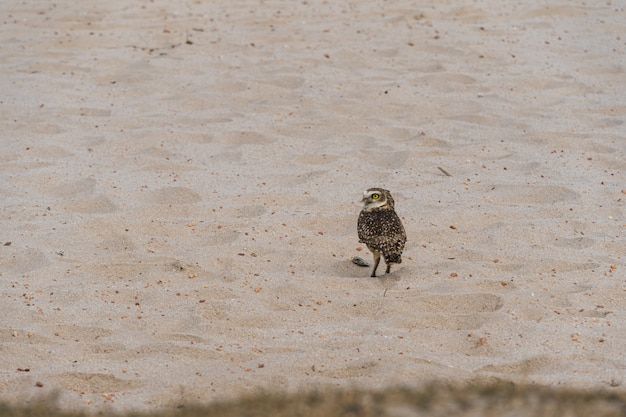 리우데자네이루의 리오 다스 오스트라스(rio das ostras)에 있는 석호의 모래 위에서 자연 속에서 자유로운 올빼미를 관찰하고 있습니다.