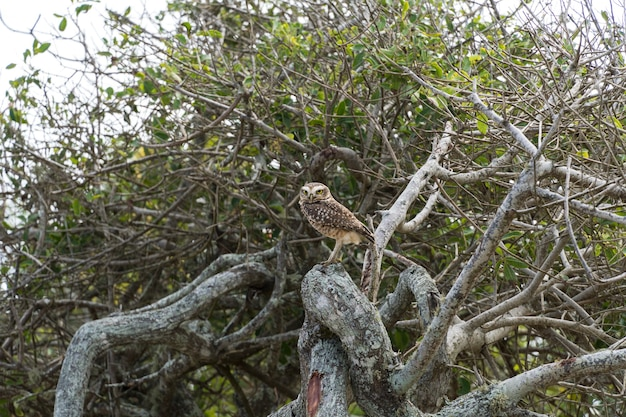 리우데자네이루의 리오 다스 오스트라스에서 나무 가지를 지켜보고 있는 야생의 자유로운 올빼미.
