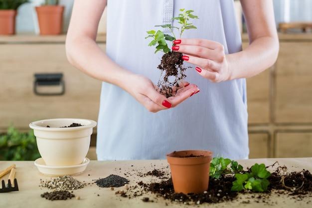 無料の植え付けと植え替え。家庭用植物の買い物。苗を取り除き、移植の準備ができました。