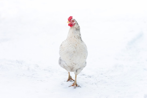 Free range chicken forages while light snow falls in winter