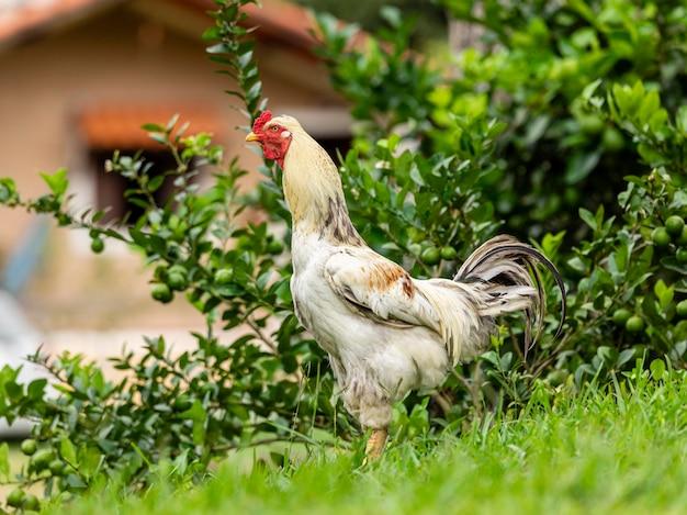 伝統的な養鶏場の放し飼いの鶏。