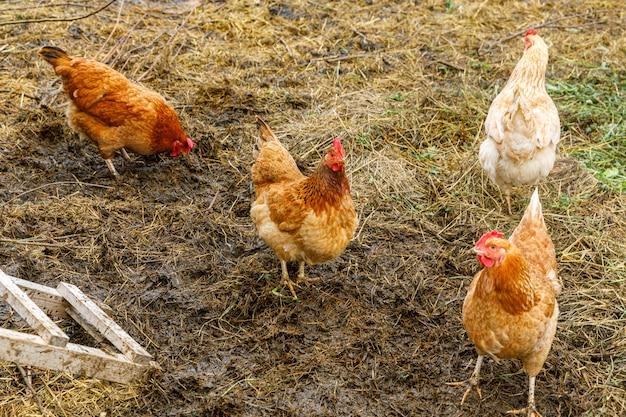 목장 배경의 마당에서 자유롭게 풀을 뜯는 유기농 동물 농장의 방목 닭. 암탉 닭은 자연 생태 농장에서 풀을 뜯고 있습니다. 현대 동물 가축과 생태 농업. 동물 권리 개념입니다.