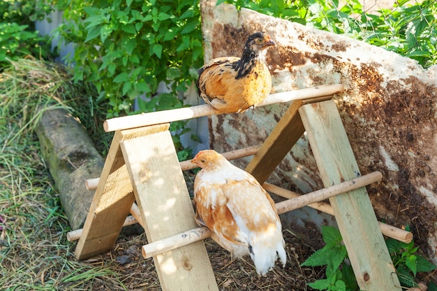 牧場の庭で自由に放牧している有機動物農場の放し飼いの鶏