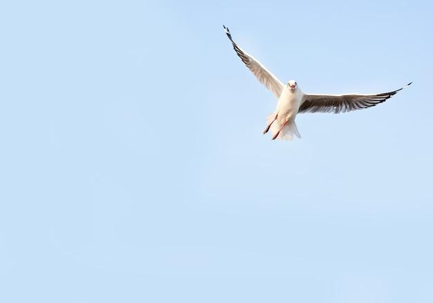 自由のシーガル、青空の背景を飛んで