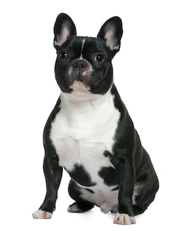 French bulldog, 1 and a half years old. dog portrait isolated