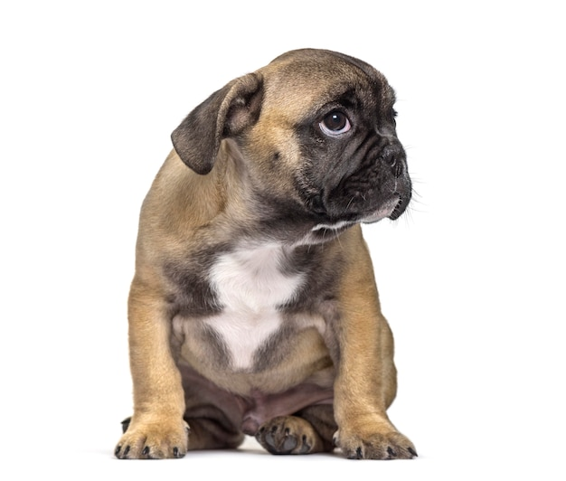 French bulldog , 3 months old, sitting against white surface