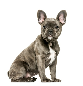 French bulldog, 3 months old, sitting in front of white surface