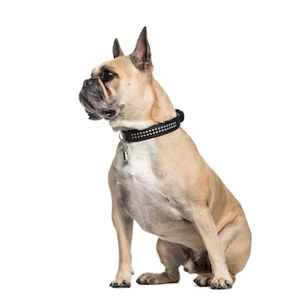 French bulldog, 6 years old, sitting in front of white surface