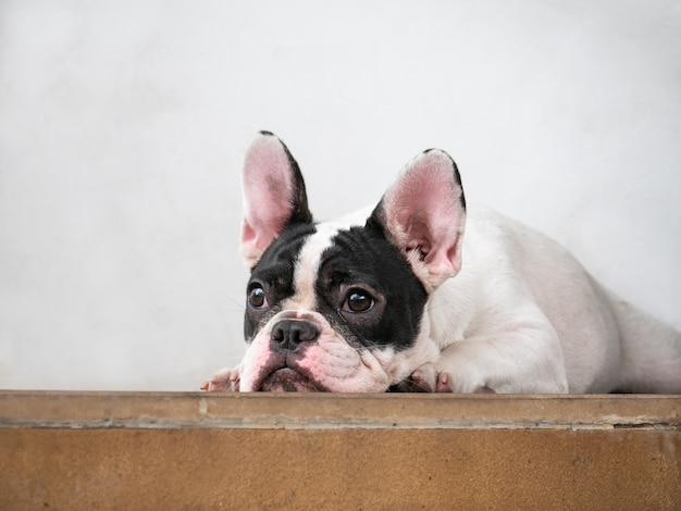 French bulldog black and white mask face sitting on floor.