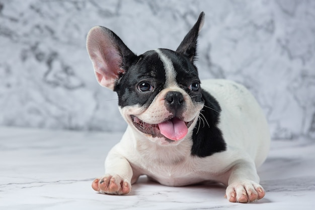 French bulldog dog breeds white polka dot black on marble.