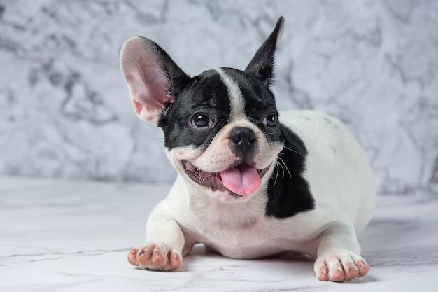 Razze di cani bulldog francese bianco a pois nero su marmo.
