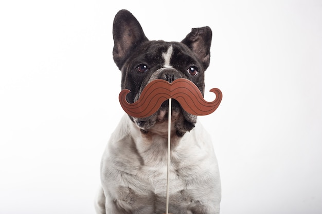 French bulldog dog with paper fake mustache isolated on white background