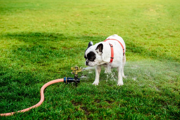 French bulldog drinking water from hose in park