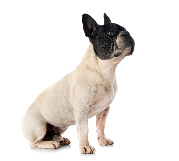 French bulldog in front of white background