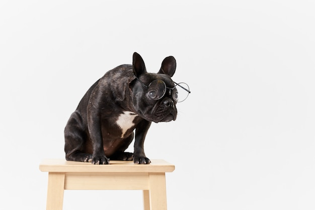 French bulldog in glasses and shirt, very smart and clever