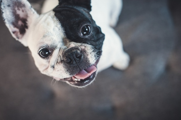 French bulldog on gray sofa looking at the camera