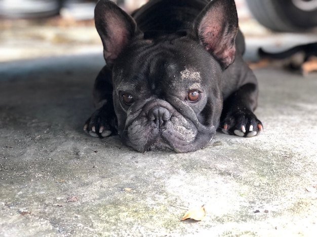 French bulldog has dirty face, black dog lying on cement floor, cute dog.