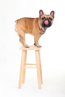 French bulldog on a high bench licking his nose.
