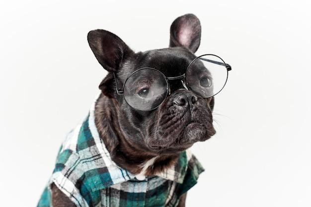 メガネとシャツのフレンチブルドッグ、非常にスマートで賢い
