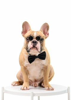 French bulldog is wearing sunglasses and a black bow tie sitting on a white table