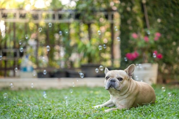 French bulldog lying at the garden