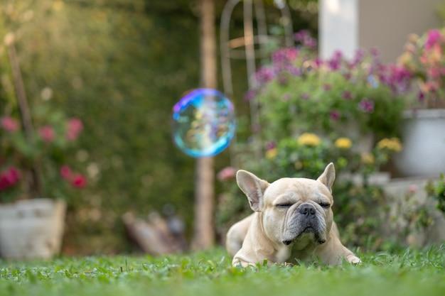 French bulldog lying at garden