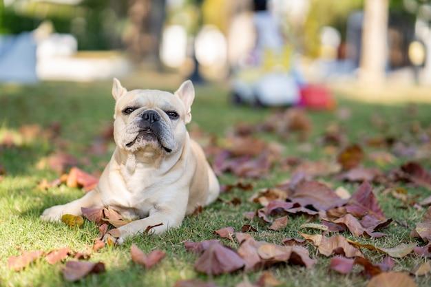 Французский бульдог лежит на осенних листьях