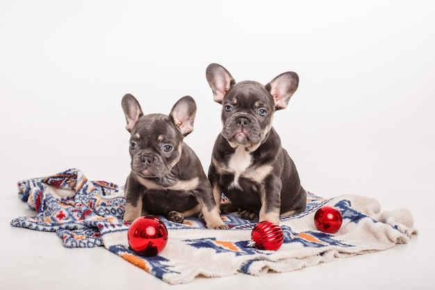 French bulldog puppies sit on blanket with christmas tree toys on white