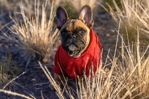 French bulldog puppy in the field.