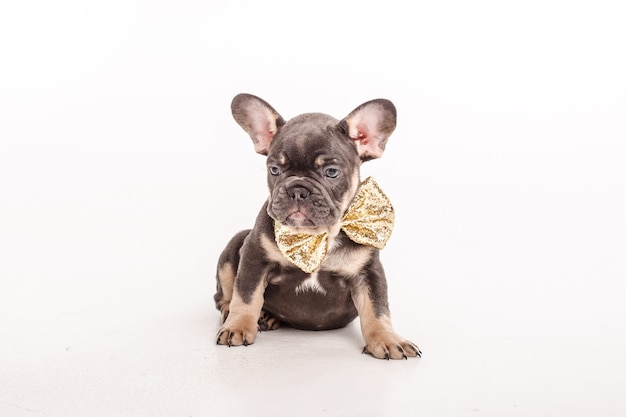 A french bulldog puppy in a gentleman's carnival butterfly is isolated on white