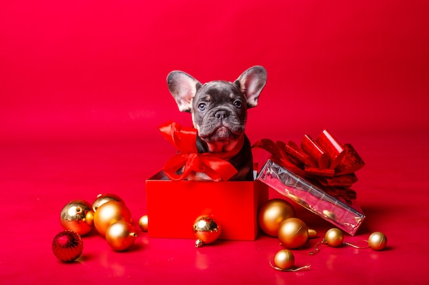 French bulldog puppy in gift box with christmas balls isolated on red