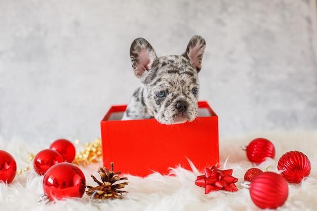 クリスマスの装飾のギフトボックスにフレンチブルドッグの子犬