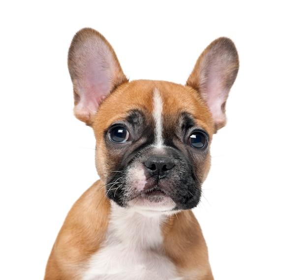 白い壁の前でフレンチブルドッグの子犬