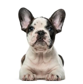 흰 벽 앞에서 프랑스 불독 강아지