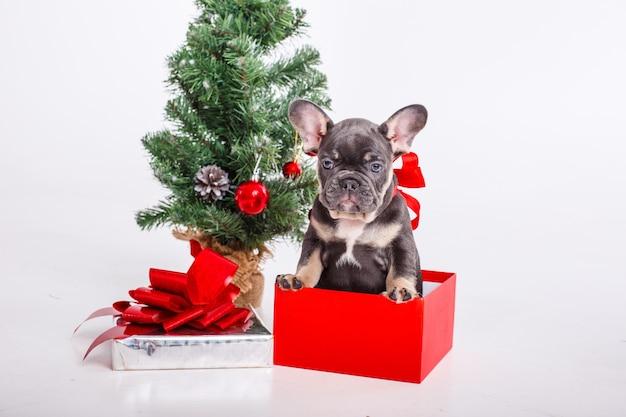 흰색 절연 크리스마스 트리 근처 선물 상자에 프랑스 불독 강아지
