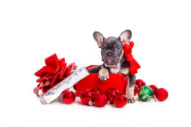 흰색 절연 크리스마스 공 선물 상자에 프랑스 불독 강아지