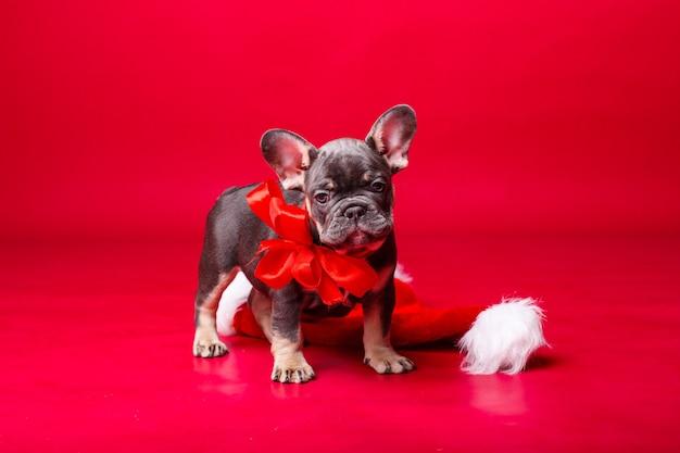 레드에 고립 된 프랑스 불독 강아지