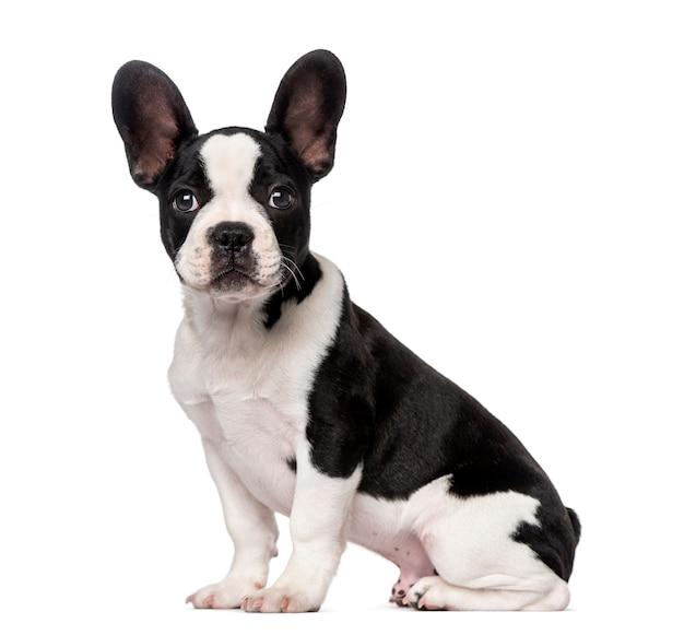 白で隔離されるフレンチブルドッグ子犬