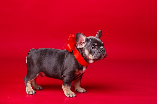 French bulldog puppy isolated on red
