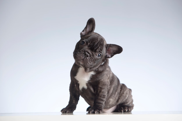 French bulldog puppy looking at the camera with its head tilted to the side