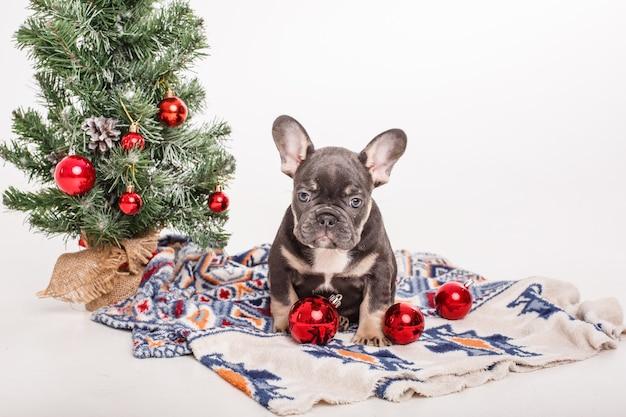 French bulldog puppy near the christmas tree on white