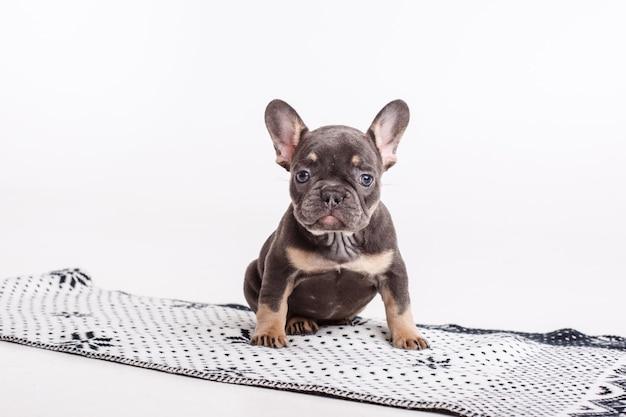 白で隔離の毛布にフレンチブルドッグの子犬