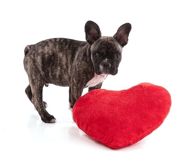 흰색 표면에 발렌타인의 날에 프랑스 불독 강아지