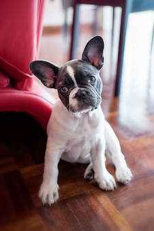 French bulldog puppy sitting at home