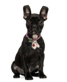 프랑스 불독 강아지 앉아 흰색 절연