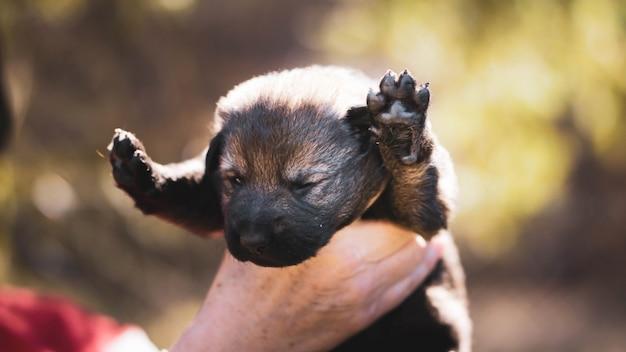 Французский бульдог щенок спит на коленях ребенка.