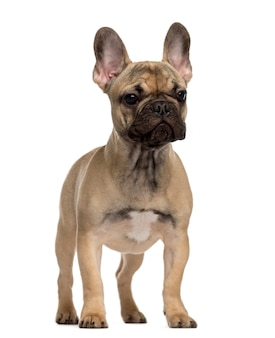 Французский бульдог щенок стоит и смотрит в сторону